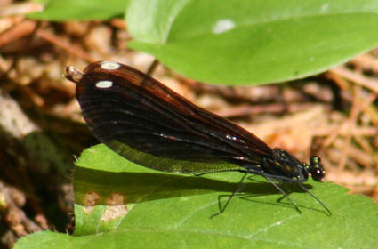 Black-Winged Damselfly (female)