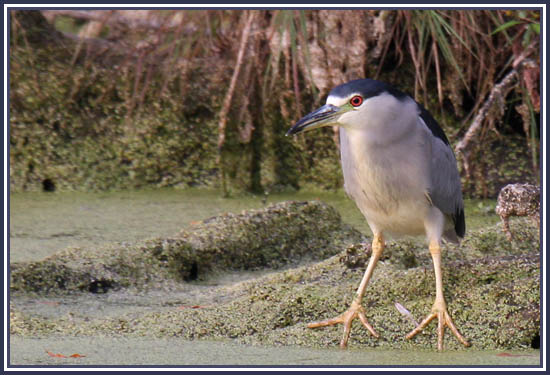 Black-crowned Night Heron - Holland Marsh