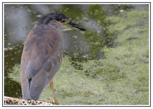 Juvenile Black-crowned Night Heron - Rouge Valley