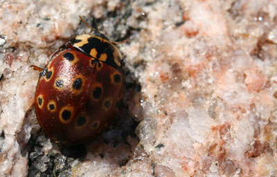 The Eye-spotted Lady Beetle (A. mali) is aptly named for its yellow-ringed, eye-like spots.